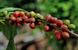 Kaffeebohnenpflanze
